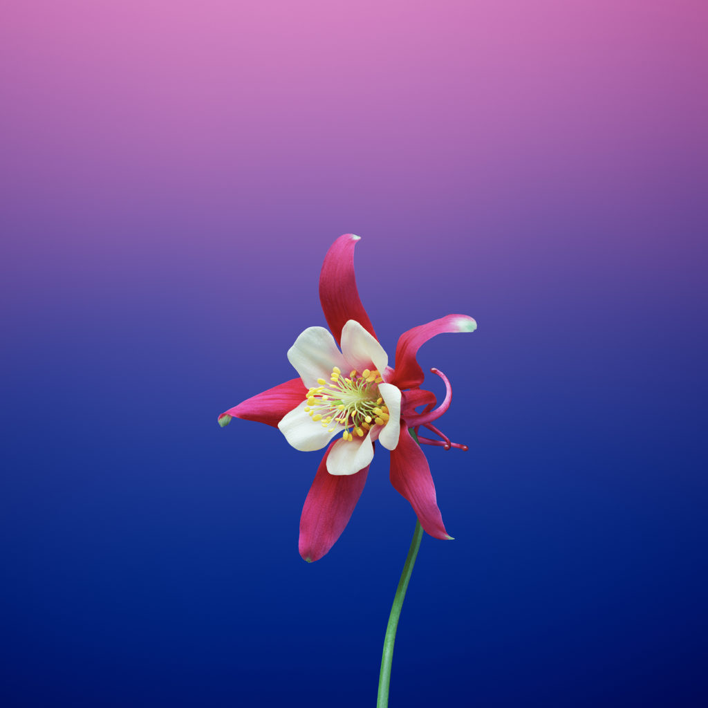 Flower Aquilegia Ios 11 Gm Iphone Wallpapers Zbitaszybka