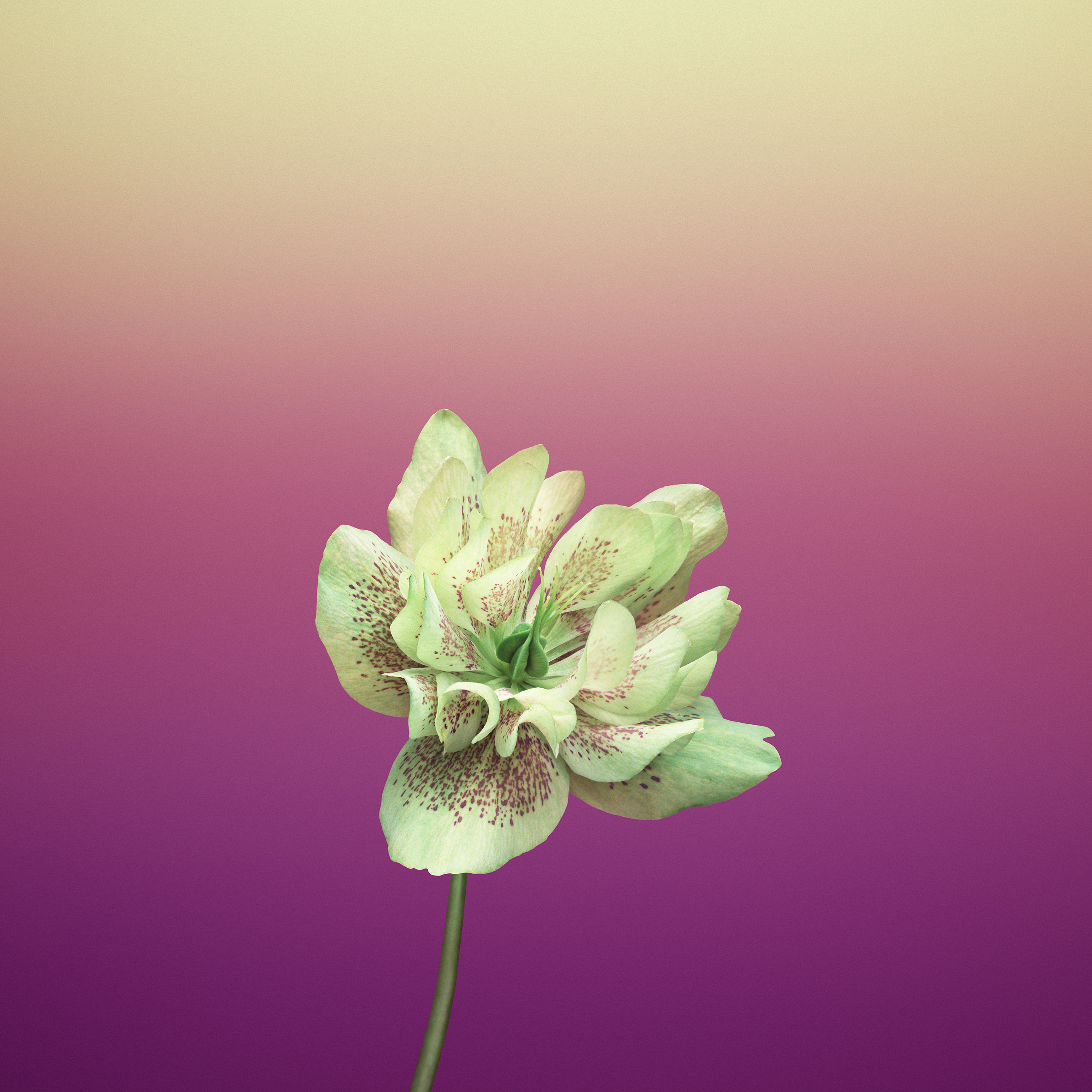 Flower_HELLEBORUS-iOS-11-GM-iPhone-wallpapers